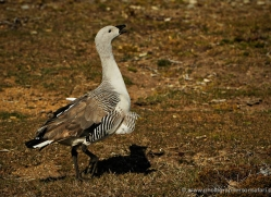 upland-goose-falkland-islands-5003-copyright-photographers-on-safari-com
