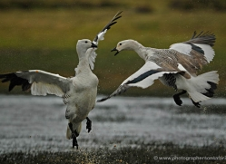 upland-goose-falkland-islands-5005-copyright-photographers-on-safari-com