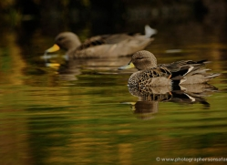 yellow-billed-teal-falkland-islands-5028-copyright-photographers-on-safari-com