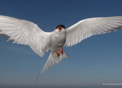 arctic-tern-598-copyright-photographers-on-safari-com