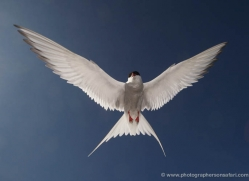 arctic-tern-600-copyright-photographers-on-safari-com