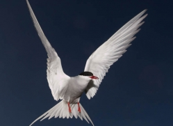 arctic-tern-601-copyright-photographers-on-safari-com