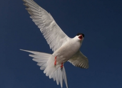 arctic-tern-602-copyright-photographers-on-safari-com