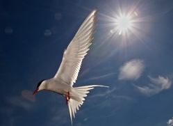 arctic-tern-604-copyright-photographers-on-safari-com