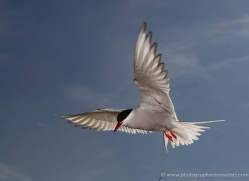 arctic-tern-605-copyright-photographers-on-safari-com
