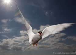 arctic-tern-606-copyright-photographers-on-safari-com