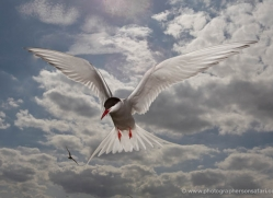 arctic-tern-607-copyright-photographers-on-safari-com