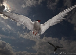 arctic-tern-610-copyright-photographers-on-safari-com