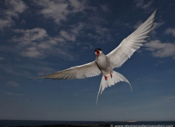 arctic-tern-611-copyright-photographers-on-safari-com