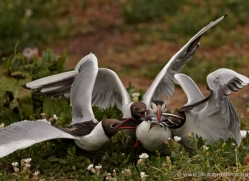 black-headed-gulls-attacking-puffins-615-copyright-photographers-on-safari-com