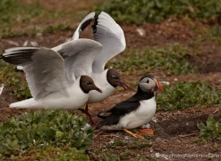 black-headed-gulls-attacking-puffins-620-copyright-photographers-on-safari-com