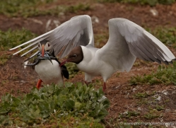 black-headed-gulls-attacking-puffins-621-copyright-photographers-on-safari-com