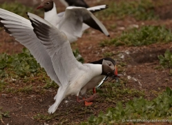 black-headed-gulls-attacking-puffins-622-copyright-photographers-on-safari-com