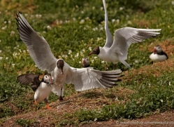 black-headed-gulls-attacking-puffins-624-copyright-photographers-on-safari-com