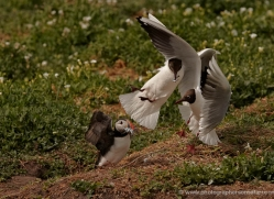 black-headed-gulls-attacking-puffins-625-copyright-photographers-on-safari-com