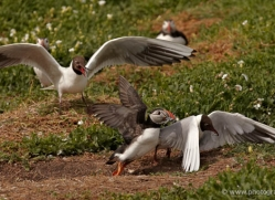 black-headed-gulls-attacking-puffins-626-copyright-photographers-on-safari-com