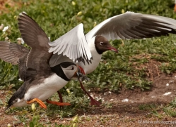 black-headed-gulls-attacking-puffins-627-copyright-photographers-on-safari-com