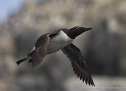 bridled-guillemot-587-copyright-photographers-on-safari-com