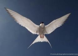arctic-tern-600-copyright-photographers-on-safari-com