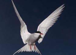 arctic-tern-601-copyright-photographers-on-safari-com