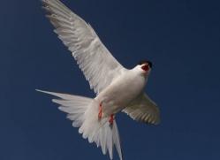 arctic-tern-602-copyright-photographers-on-safari-com