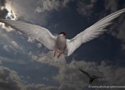 arctic-tern-610-copyright-photographers-on-safari-com