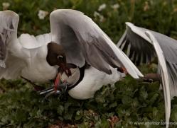black-headed-gulls-attacking-puffins-619-copyright-photographers-on-safari-com