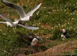 black-headed-gulls-attacking-puffins-623-copyright-photographers-on-safari-com