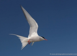 arctic-tern-597-copyright-photographers-on-safari-com