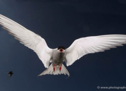 arctic-tern-599-copyright-photographers-on-safari-com