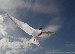 arctic-tern-609-copyright-photographers-on-safari-com