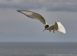 arctic-tern-copyright-photographers-on-safari-com-8388