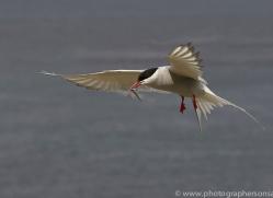arctic-tern-copyright-photographers-on-safari-com-8389