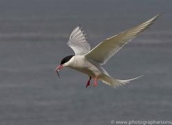 arctic-tern-copyright-photographers-on-safari-com-8390