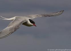 arctic-tern-copyright-photographers-on-safari-com-8391