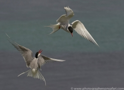 arctic-tern-copyright-photographers-on-safari-com-8392