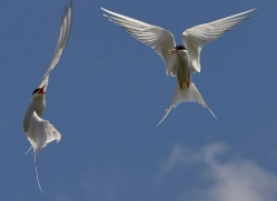 arctic-tern-copyright-photographers-on-safari-com-8396