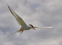 arctic-tern-copyright-photographers-on-safari-com-8397