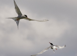 arctic-tern-copyright-photographers-on-safari-com-8398