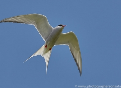 arctic-tern-copyright-photographers-on-safari-com-8400