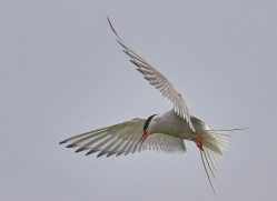 arctic-tern-copyright-photographers-on-safari-com-8401