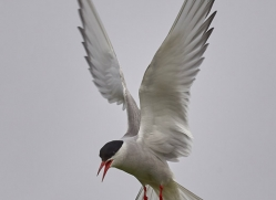 arctic-tern-copyright-photographers-on-safari-com-8403