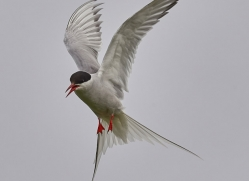 arctic-tern-copyright-photographers-on-safari-com-8405