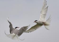 arctic-tern-copyright-photographers-on-safari-com-8406