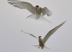 arctic-tern-copyright-photographers-on-safari-com-8408