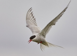arctic-tern-copyright-photographers-on-safari-com-8409