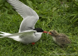 arctic-tern-with-chick-612-copyright-photographers-on-safari-com
