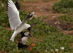 black-headed-gulls-attacking-puffins-614-copyright-photographers-on-safari-com