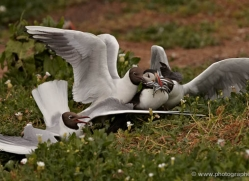 black-headed-gulls-attacking-puffins-617-copyright-photographers-on-safari-com