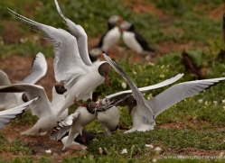 black-headed-gulls-attacking-puffins-618-copyright-photographers-on-safari-com